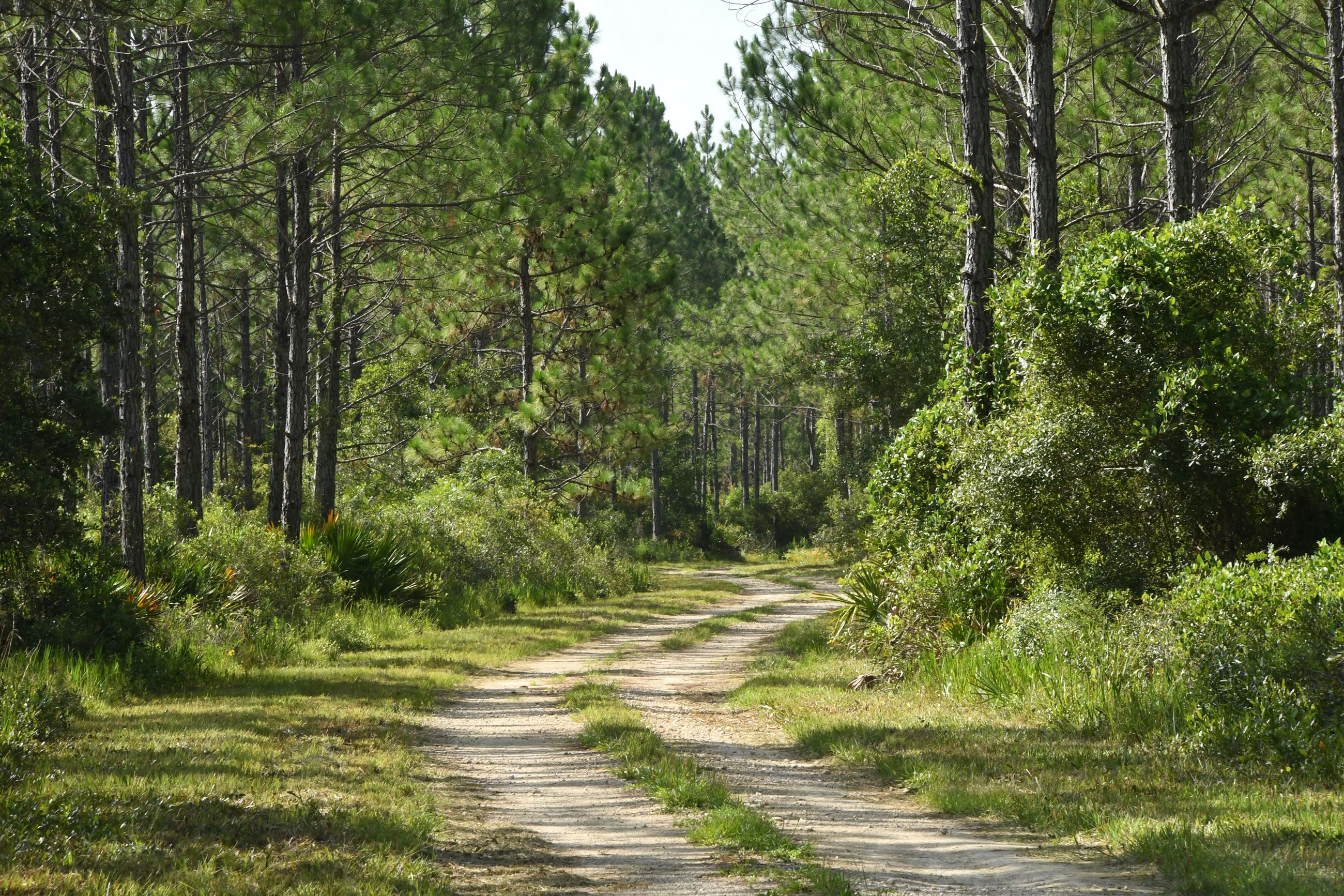 Dirt road windning through tall trees