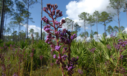 Santa Fe Swamp Wildflower